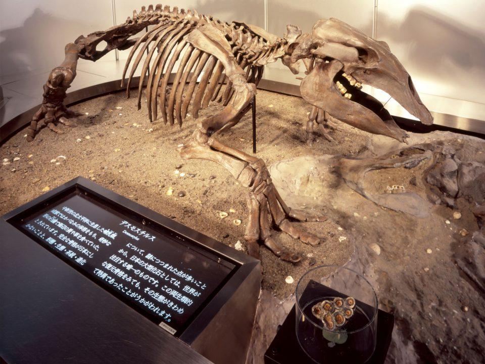 地質標本館で展示しているデスモスチルスの骨格標本(レプリカ)。世界でも珍しい、頭の骨をはじめとするほぼ全身の骨格がよく残っている標本です。
